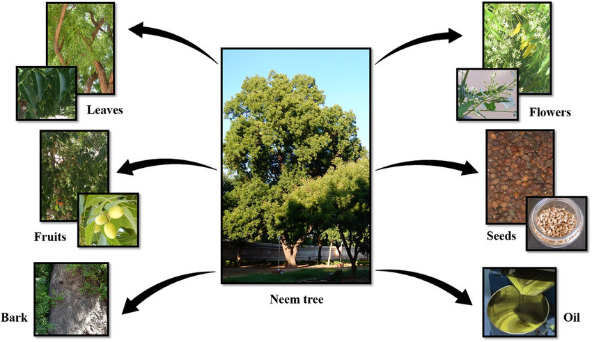 The Neem plant and its components: tree, leaves, fruits, bark, flowers,... | Download Scientific Diagram